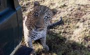 Up close with Jawai's unusual leopards - and a leopard-tracker to match