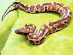 Six-feet long snake rescued from DU's South campus