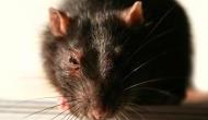 बिहार पुलिस की रिपोर्ट, शराबबंदी के बाद ज़ब्त 9 लाख लीटर शराब पी गए चूहे