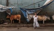Cattle trade ban: SC stays centre's new cattle slaughter notification