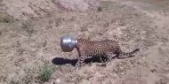 Watch: thirsty leopard gets head stuck in a pot