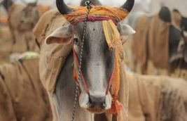 Rajasthan: Not even cows are spared from acid attacks