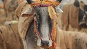 Cow electrocuted after rains