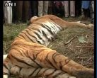 Tiger beaten to death by villagers in UP's Bijnor district