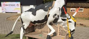 2,700 cows die in a Jaipur shelter each month. The one they're protecting is plastic