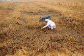 बेमौसम बारिश: रबी फसल बर्बाद और उदासीन सरकार