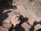 Four tiger cubs starve to death in Maharashtra; probe ordered
