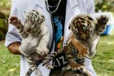 National Tiger Conservation Authority gives nod to four new tiger reserves