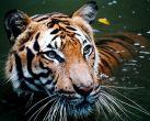 Tigers roar aloud in Karnataka.Will the govt do more for the region?