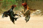 In wake of Jallikattu debate, a look at other customs of animal cruelty
