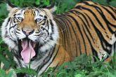 ओडिशा: बाघों की गिनती पर नक्सली हमले का साया