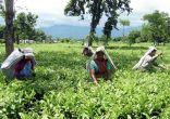 चाय बागानों से आ रही है बर्बादी की सुगबुगाहट