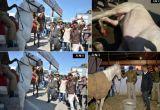 घोड़े की टांग तोड़ने के आरोपी बीजेपी विधायक गिरफ्तार