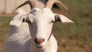 हरियाणा: बेटी तो छोड़िए जानवर भी नहीं हैं सुरक्षित, 8 लोगों ने गर्भवती बकरी को बनाया हवस का शिकार