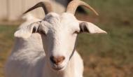 भूखी बकरी ने खा लिए 66 हजार, मालिक का जवाब सुनकर रह जाएंगे हैरान