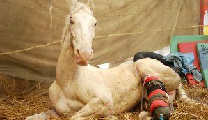 RIP Shaktiman: Dear politicians, stop lip service and enact Animal Welfare Bill