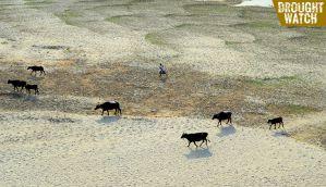 Drought Diary: Gujarat govt in denial; wheat crop fails in Uttar Pradesh