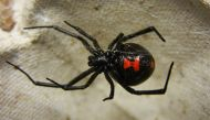 Iraqis think US army introduced a deadly spider in their country