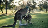 Why is Australia killing almost 2000 kangaroos?