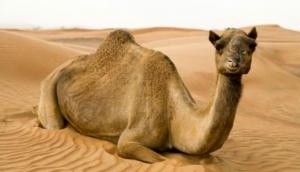 Australia: 10,000 camels' life at risk, likely to be shot dead due to drought