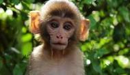 इस देश में दिखा 200 से ज्यादा बंदरो का दुर्लभ झुंड