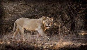 गुजरात: 18 शेरों को उम्रकैद या मिलेगा जंगल का राज?
