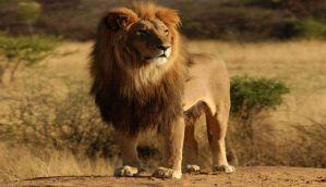 गुजरातः एक शेर और दो शेरनियों को हुई उम्र कैद, 14 शेर बाइज्जत बरी
