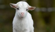 OMG! तीन साल से प्रेग्नेंट थी महिला, अब बकरे को दिया जन्म