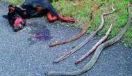 चार सांपों को मारकर मालिक के लिए कुत्ते ने न्यौछावर की जान