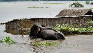 ब्रह्मपुत्र की बाढ़ में बहकर हाथी पहुंचा बांग्लादेश, मोदी सरकार लाएगी वापस