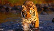 वर्ल्ड टाइगर डे: एक सदी में एक लाख बाघ गायब, अब केवल 3890