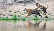 वर्ल्ड टाइगर डेः 2 मिनट के वीडियो से जानिए राष्ट्रीय पशु से जुड़ी पूरी जानकारी