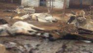 जयपुर: रविवार को हिंगोनिया गोशाला में 85 गायों की मौत, महामारी का खतरा मंडराया
