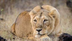 Whose lion is it anyway? 23 years into plan, not one Gir lion shifted to MP