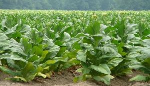 Agriculture scheme extended to encourage tobacco farmers to move to other crops