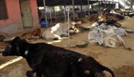 जयपुर के बाद उदयपुर की गोशाला में मरीं 150 से ज़्यादा गायें
