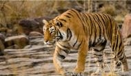 Shocking! Avni, 'Man-eater tigress believed to be behind alleged deaths of 13 people in Maharashtra; killed