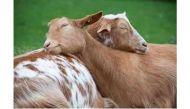 Muslim Rashtriya Manch to cut Goat-shaped cake in Awadh; BJP's 'eco-friendly' Eid suggestion draws ire