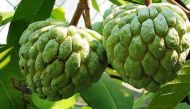 Rajasthan set to cultivate new variety of custard apple on a larger scale