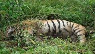 कान्हा में एक और बाघ मरा, इस साल अब तक 21 मौतें