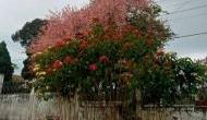 Full of Freshness! Kashmir's cherry harvesting in full swing