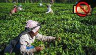 कैशलेस अर्थव्यवस्था का सपना और भूखमरी के कगार पर चाय बागान के हज़ारों मज़दूर