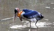 From loathed to loved: Villagers rally to save Greater Adjutant stork