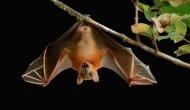 18 dead bats in Himachal Pradesh's Nahan causes Nipah virus scare