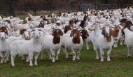 महाशिवरात्रि के दिन होने जा रहा है बकरियों का स्वयंवर