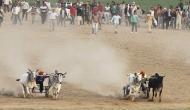 The Jallikattu effect: Maha govt to initiate bill to resume bullock cart racing