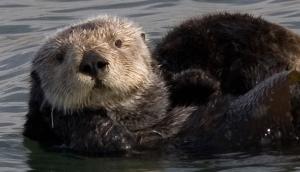 The extraordinary return of sea otters to Glacier Bay
