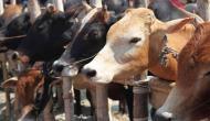 जमीयत-उलेमा-ए-हिंद की सरकार से मांग- गाय को घोषित करें राष्ट्रीय पशु