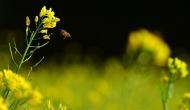GM mustard about to be approved for use: 10 facts that ought to worry you