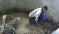 सैकड़ों कोबरा सांप से खेलते शख्स का रोंगटे खड़े करने वाला वीडियो देखिए